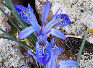 Iris histrio_DSCN8244-001 (2)