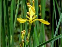 Iris pseudacorus IMG_2667 (2)