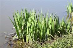 Iris pseudacorus_DSCN8051 (2)