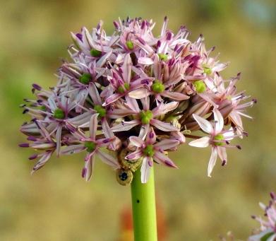 Allium tel-avivense_DSCN9037-001