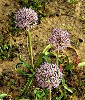 Allium tel-avivense_DSCN9038-002 (2)