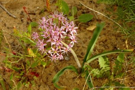 Allium tel-avivense_DSCN9039-001