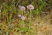Allium tel-avivense_DSCN9040 (2)