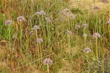 Allium tel-avivense_DSCN9042 (2)