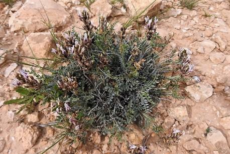 Astragalus amalecitanus_DSCN9444-002 (2)