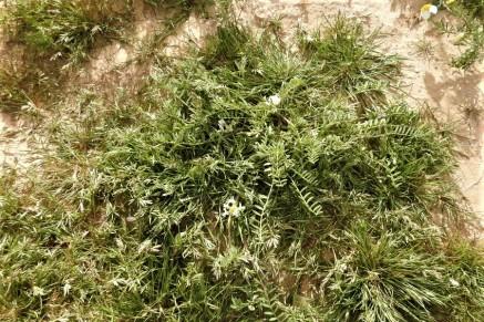 Astragalus tribuloides_DSCN9658 (2)