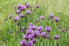Iris mariae_DSCN9111-001