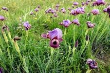 Iris mariae_DSCN9122-001
