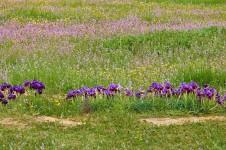 Iris mariae_DSCN9128 (2)