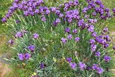 Iris mariae_DSCN9132 (3)