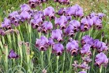 Iris mariae_DSCN9133-001