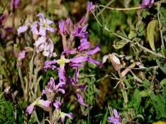 Matthiola longipetala ssp. livida_IMG_7034-1