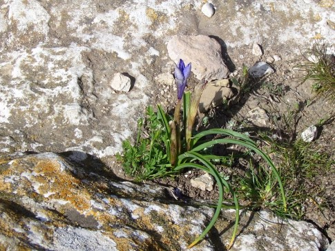 Moraea sisyrinchium_IMG_3892-001 (2)