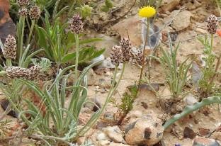 Plantago phaeostoma_DSCN9688-002 (2)