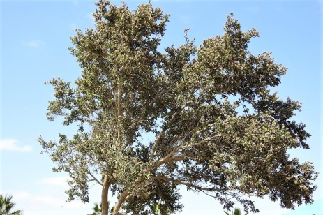 Sumah_Rhus integrifolia_DSCN9419 (2)