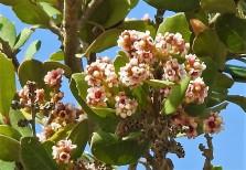 Sumah_Rhus integrifolia_DSCN9420-001 (2)