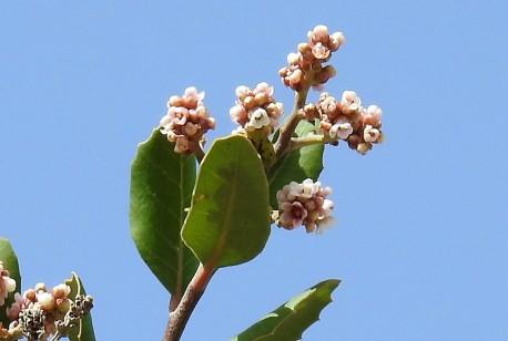Sumah_Rhus integrifolia_DSCN9421 (2)