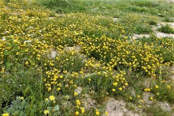 Tripleurospermum auriculatum_DSCN9668 (2)