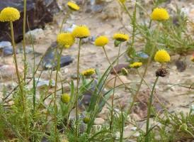 Tripleurospermum auriculatum_DSCN9680-002 (2)
