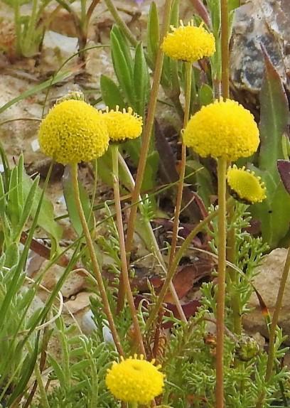 Tripleurospermum auriculatum_DSCN9680-004 (2)