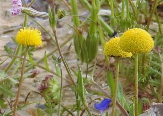 Tripleurospermum auriculatum_DSCN9680-005 (2)