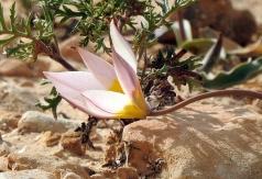 Tulipa biflora_DSCN9516-001