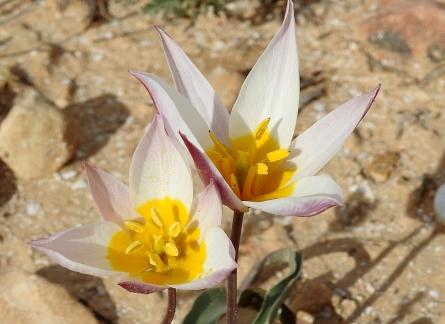 Tulipa biflora_DSCN9519-002