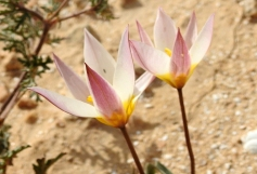 Tulipa biflora_DSCN9523-001