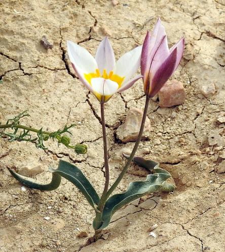 Tulipa biflora_DSCN9611-002