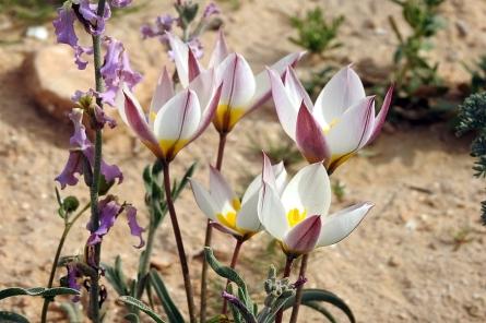 Tulipa biflora_DSCN9636-001