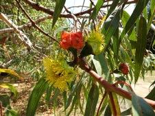 Eucalyptus erythrocorys DSCN0817-001