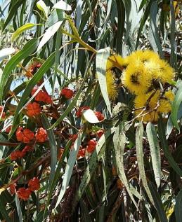 Eucalyptus erythrocorys DSCN0826-001 (3)