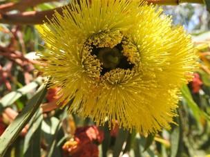 Eucalyptus erythrocorys DSCN0841 (2)