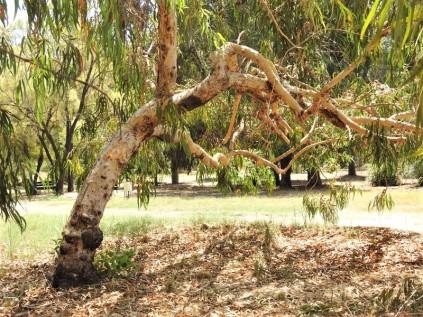 Eucalyptus erythrocorys DSCN0848 (3)