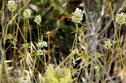 Allium pallens DSCN2348-001