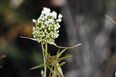 Allium pallens DSCN2349 (2)