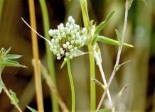 Allium pallens DSCN2352-001 (2)