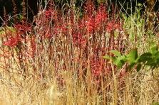 Erythrina herbacea_DSCN0255-001