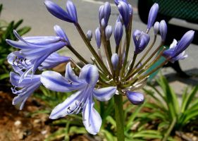 Agapanthus_zv_P5070250_a