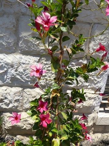 Allamanda blanchetii_P1010948-001