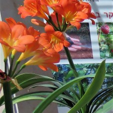 Amaryllis belladonna_IMG_2739-005 (2)