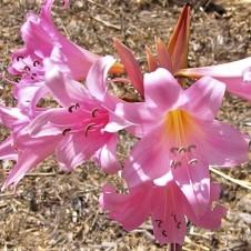 Amaryllis_belladonna IMG_0426 (2)