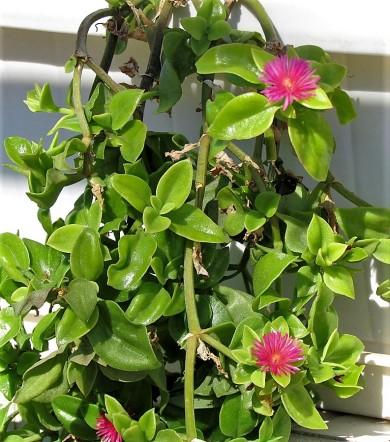 Aptenia cordifolia_IMG_7648-003 (2)