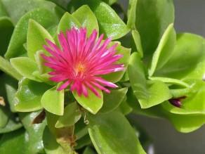 Aptenia cordifolia_IMG_7650-003 (2)