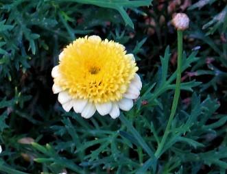 Argyranthemum frutescens'Sassy_IMG_2166-002