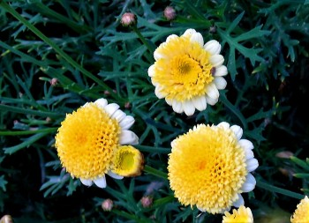 Argyranthemum frutescens'Sassy_IMG_2166-003