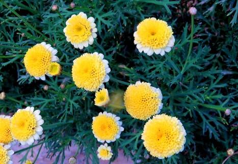 Argyranthemum frutescens'Sassy_IMG_2166 (2)-001