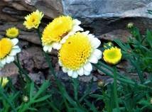 Argyranthemum frutescens'Sassy_IMG_2168-002