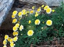 Argyranthemum frutescens'Sassy_IMG_2168 (2)-001