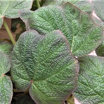 begonia-acida_dscn1604_z (2)